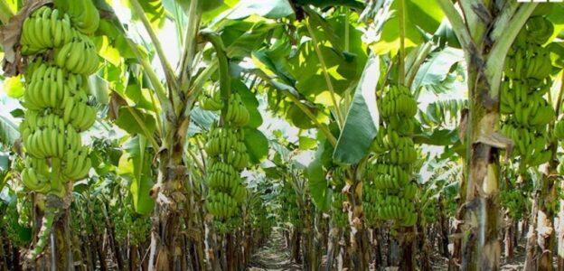 x banana field